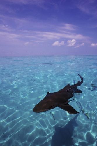 PEW-Caribbean-shark