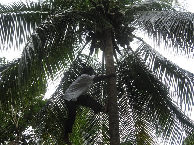 coconut-plantation-Jamaica