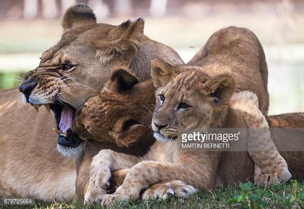 chile-lions