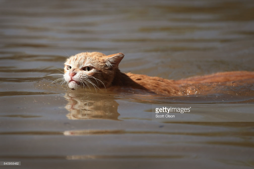 cat-swims-inhouston