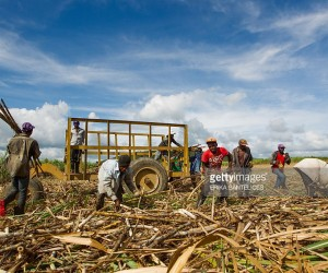 sugar-cane-in-the-caribbean