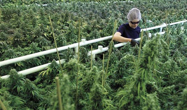 Marijuana News u2013 With A Foot In The Caribbean This Weed Company Sees It Stock Rising & Marijuana News u2013 With A Foot In The Caribbean This Weed Company ...