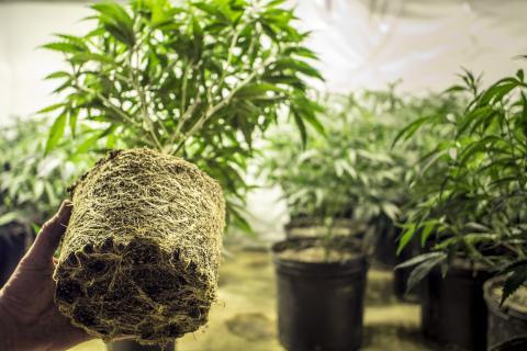 a-marijuana-dispensary-is-coming-to-jamaica