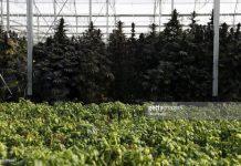 Cannabis-plants