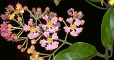 national_flower-saint-vincent-and-the-grenadines