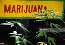jamaica-marijuana