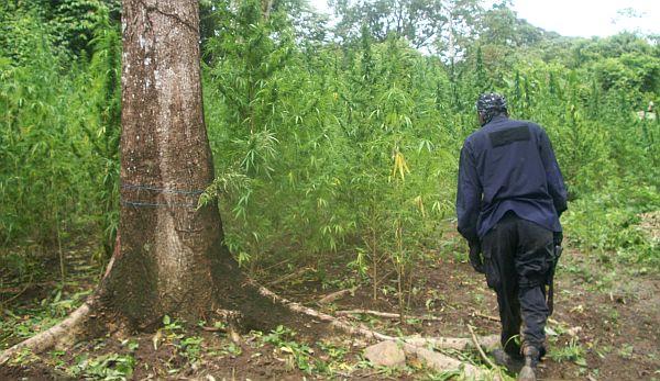 marijuana-caribbean