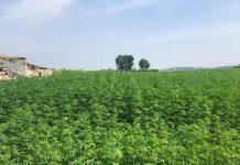 Marijuana-Crop
