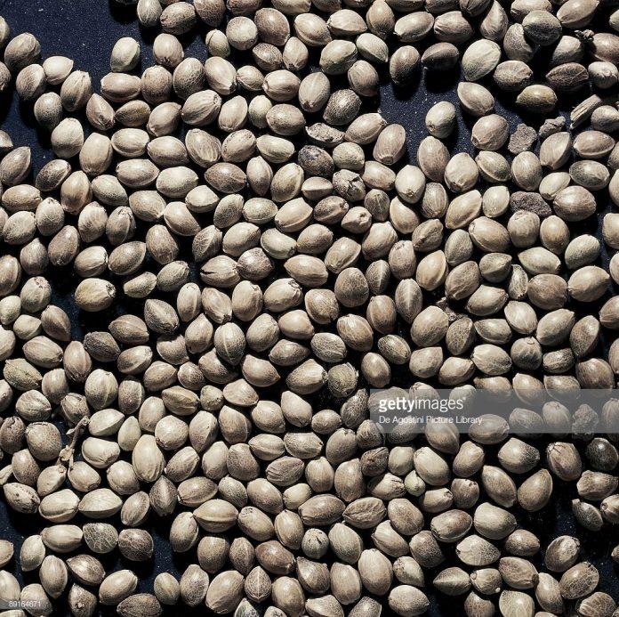 Cannabis-sativa-seeds