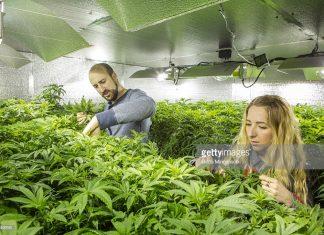 legal-marijuana-and-the-caribbean