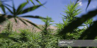 marijuana-fields
