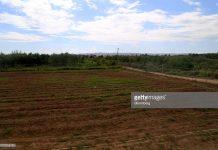 jamaica-marijuana-fields