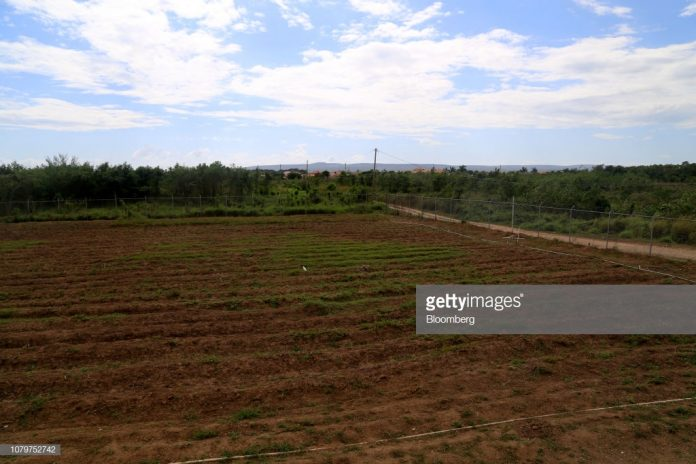 jamaica-marijuana-fields