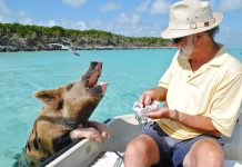 swimming-pigs-caribbean-travel-photo-of-the-day
