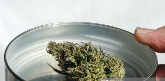marijuana-hemp-bud