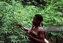 uganda-marijuana