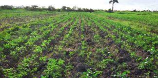 CROP-FARMING-IN-GUYANA