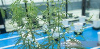 cannabis-thailand