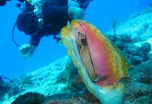 caribbean-travel-photo-of-the-day-conch