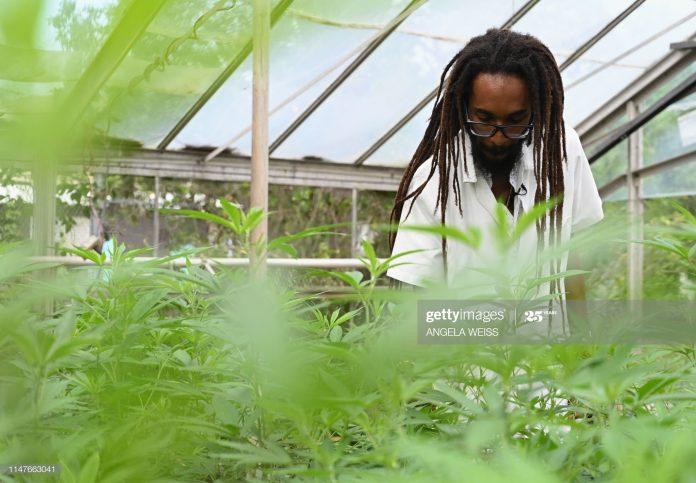 caribbean-marijuana