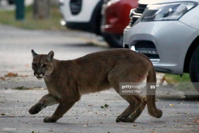 cougars-santiago-chile