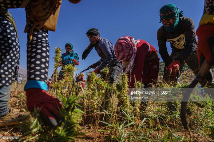 harvesting-weed-in-lebanon