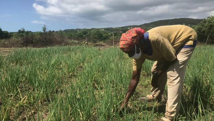 jamaican-farmer