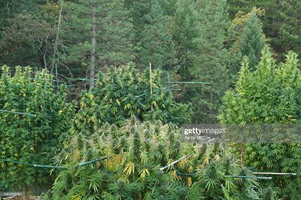 marijuana-in-california