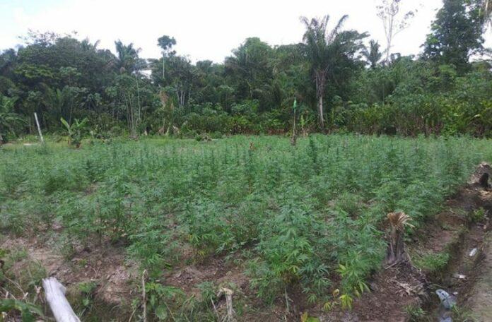guyana-weed