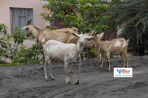 goats-try-to-find-grass-in-chateau-belair-svg