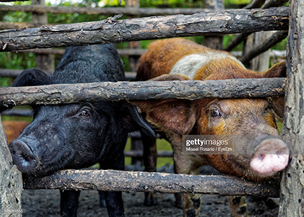 pigs-in-the-dr